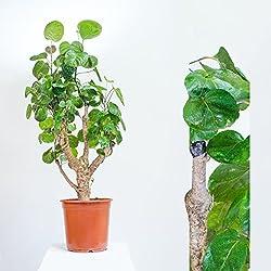 "Polyscias ""Fabian"" Fiederaralie , 85cm /-, Topfgröße 21cm, Zimmerpflanze"