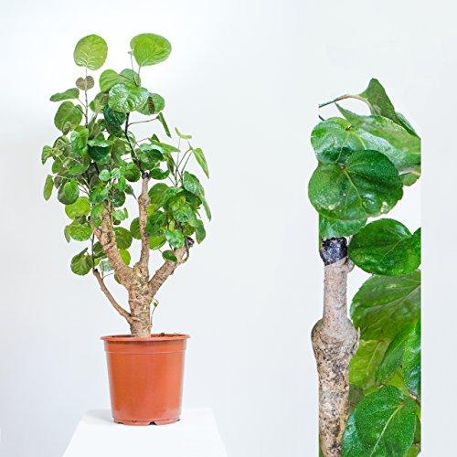 Fiederaralie Kletterpflanze