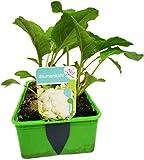 Gemüse-Jungpflanze 'Blumenkohl' im 6er Pack für den heimischen Gemüsegarten.