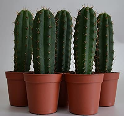 Trichocereus pachanoi (San Pedro) 5 Kakteen ab 10cm von lophophora-williamsii.de bei Du und dein Garten