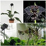 CROSO Keim Seeds Nicht NUR Pflanzen: 10 Samen Fledermausblume, Bat Samen oder Flower of The