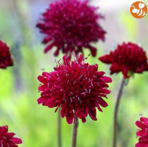 Qulista Samenhaus - 250pcs Selten Bienenweide Mazedonische Witwenblume 'Mars Midget' für Bienen und Schmetterlinge Blumensamen winterhart mehrjährig pflegeleicht