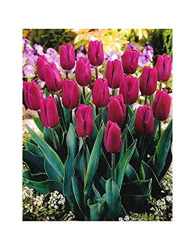 Shop meeko garthwaite nurseries: - 20 bandiera viola triumph tulipani sementi alto fioritura primaverile hardy giardino perenne