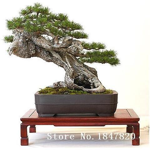 Nuevos 100pcs / bag semillas japonesas árboles bonsai de pino, Pinus thunbergii semillas verdes envío libre