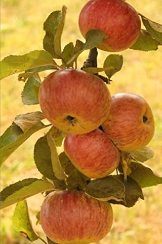 Apple Harvest Journal: 150 Page Lined Notebook/Diary