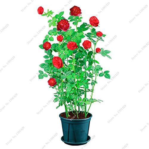 Exotique Rosas / Rose semences vivaces Jardin des plantes Bonsai Fleur, Pots de fleurs Pots décoratifs Landscaping 120 Pcs / Sac 5