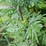 Artemisia vulgaris - Mugwort - Spg - Semi