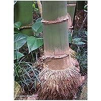 Dendrocalamus giganteus - bambú gigante - 10 semillas