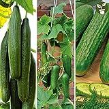 AGROBITS Bunte Regenbogen-Glas Gem Corn Cherokee Indian Erbst/ück 15 Samen-unusial /& Seltenes