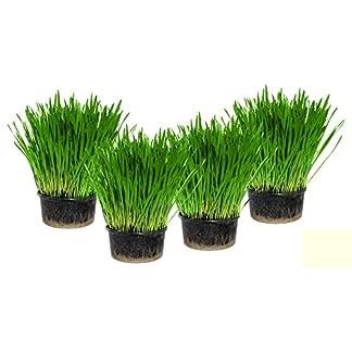 Cat Grass x 4 Pack (Grow your own kits) 51BzGcCzrxL