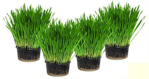 cat-grass-x-4
