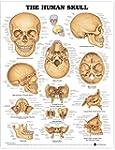The Human Skull Anatomical Chart