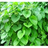 Plant House Live Neem Giloy-Heart-leaved moonseed-Tinospora cordifolia-Guduchi Herbal Plant - with pot