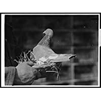 POSTER Baupaume Billy, a famous army carrier pigeon now used for breeding A is sitting in bowl of straw. Only the hand visible Scotland Wall Art Print A3 replica