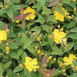 Portal Cool Hypericum X Hidcoteense Hidcote-Johanniskraut, 3 Pflanzen In 9cm Töpfe