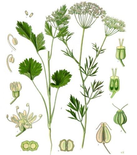 Linde 20 Samen (Heimischer Baum - Winterhart) Auch Bonsai geeignet<