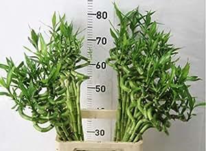 3 Stück Lucky Bamboo 60 cm Glücksbambus Dracaena Sanderiana Blumenversand