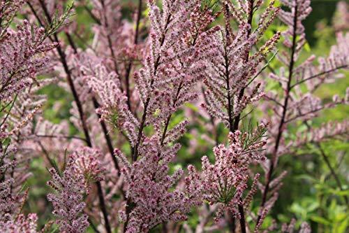 Frühlings-Tamariske - starke Pflanze im grossen 5lt Topf