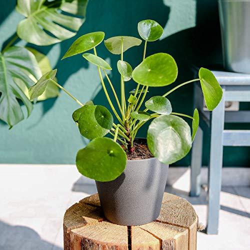 Qulista Samenhaus – Pflanzenrarität Chinesischer Geldbaum Zimmerpflanzen Ufopflanze Glückstaler Blumensamen winterhart mehrjährig, Ideal für Hängeampeln