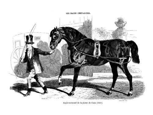 Les races chevalines - Gravure Cheval Anglo-Normand