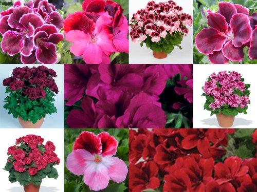6-regal-pelargonium-mixed-collection-plug-plants-from-plugplants4u