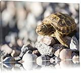 Kleine Schildkröte Format: 80x60 auf Leinwand, XXL riesige Bilder fertig gerahmt mit Keilrahmen, Kunstdruck auf Wandbild mit Rahmen, günstiger als Gemälde oder Ölbild, kein Poster oder Plakat