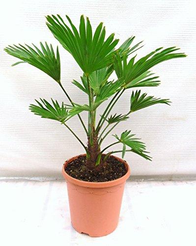 Trachycarpus wagnerianus, Hanfpalme, Palme, Winterhart - verschiedene Größen (60-80cm - Ø 23 cm - 5.7 Ltr)