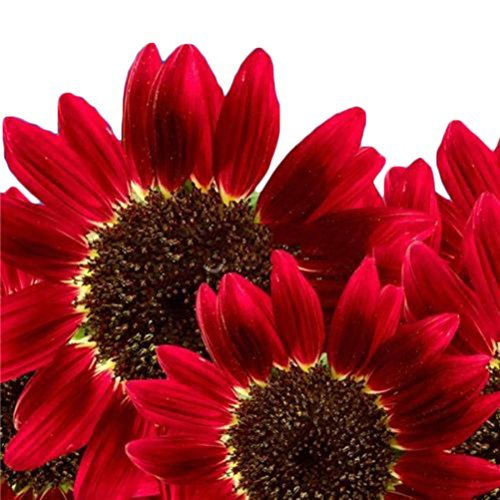 amazing-tradingtm-1-pack-15-seed-helianthus-red-sunflower-seeds-red-sun-seeds