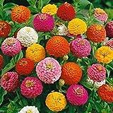 #8: LIVE GREEN Zinnia Double Mixed Flower F1 Hybrid Seeds