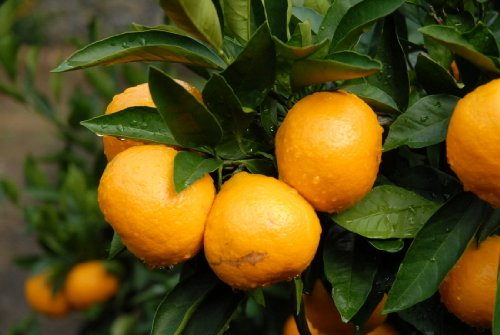 tangerine-mandarin-citrus-fruit-tree-seeds