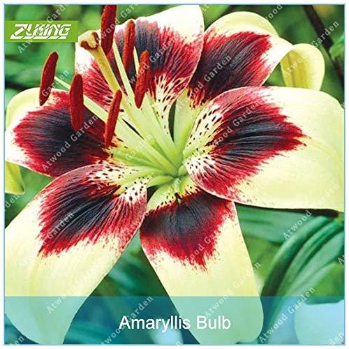 Galleria fotografica Fash Lady ZLKING 2 Pz Tear Amaryllis Bulbs Hippeastrum Flower Roof Terrace Bonsai Patio Garden Raro Barbados Lily Bulbi da fiore Non