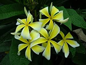 "8 inch to 12 inch plumeria frangipani pflanze cutting rooted plumeria frangipani Ausschnitt verwurzeltes ,name ""Yellow Gian Spender"""