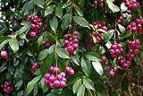 Portal Cool 20 Semi germinati Eugenia myrtifolia - Syzygium paniculatum Pennello Cherry
