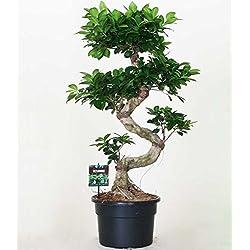 """Zimmerbonsai Ficus""""Ginseng"""" ca. 40 cm hoch,1 Pflanze"""