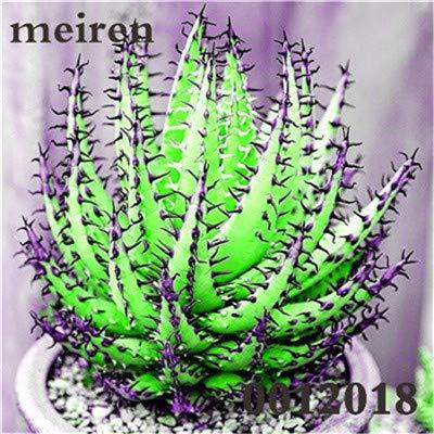 Plentree Pacchetto semi: 100 pezzi Succulente Aloe Bonsai Rare Polyphylla rotazione Aloe Vera regina Bonsai Piante grasse per la casa e amp; Giardino: 11