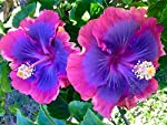 Green Gardens Rare Chemparathi Plant Exotic Hibiscus 'Purple Queen ' 1 Healthy Live Plant