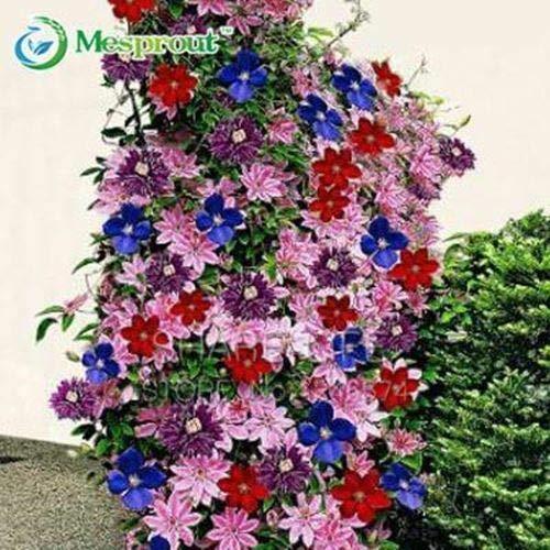 Shoopy Star 22: 30 Pcs/Paquet Bouteille Palmier graines vivaces Easy Grow Bonsaï Pots Tropical