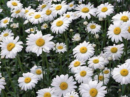 portal cool 1000 semi di camomilla erbe, ideale per la preparazione di tÚ, 1000 semi, facile da coltivare