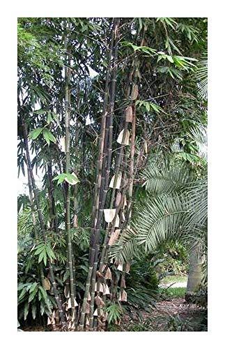Gigantochloa atroviolacea - tropischer schwarzer Riesenbambus - 20 Samen