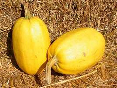 HERITAGE HEIRLOOM WINTER SQUASH 10 ORGANIC SEEDS VEGTABLE SPAGHETTI LOW CALORIE CERTIFIED FRENCH ORGANIC GROWER
