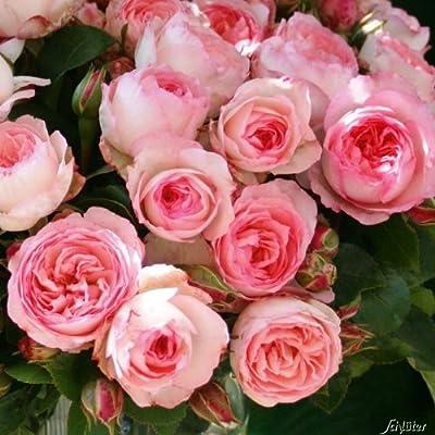 Beetrose 'Mini Eden Rose' - 1 Pflanze von Garten Schlüter bei Du und dein Garten