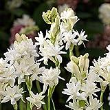 Portal Cool Tuberosa 'The Pearl' (Double Flowered Ampoule Plante Vous-Mãªme) (Gratuit UK Frais de Ports)...