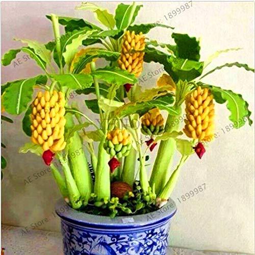 Shopmeeko Graines: Véritable 100 pcs Banana bonsaïs, arbres fruitiers nains, le goût du lait, des fruits vivaces extérieur Plantas Pour les plantes de jardin, XLK9N0