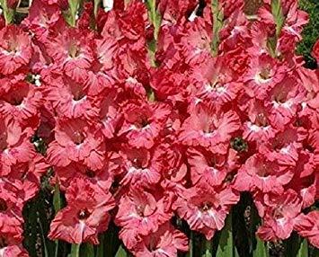 CUSHY Chit Chat (pink) Gladiolen Knollen (25 Birnen) Jetzt Versand!