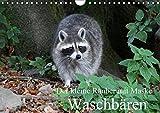 Der kleine Räuber mit Maske - Waschbären (Wandkalender 2019 DIN A4 quer): Ein kleiner anpassungsfähiger Räuber (Geburtstagskalender, 14 Seiten ) (CALVENDO Tiere)