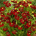lichtnelke - Sonnenbraut ' RUBY TUESDAY ' Helenium von Lichtnelke Pflanzenversand - Du und dein Garten