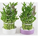 Priyathams Imported GOOD LUCK (LUCKY BAMBOO PLANT) Plant Seed (49 per packet)