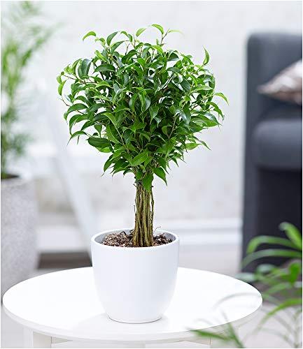 """BALDUR-Garten Fikus am Stamm""""Babilatos"""", 1 Pflanze Birkenfeige Hochstamm"""
