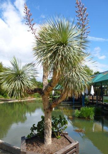 TROPICA-Blaue Yucca ( Yucca rostrata )-10 Samen