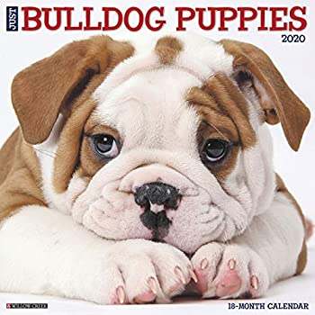 Just Bulldog Puppies 2020 Calendar